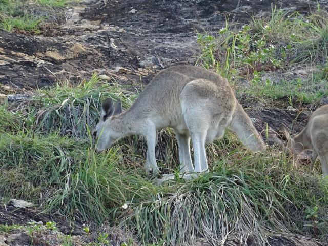 Kanguruh auf North Stradbroke Island