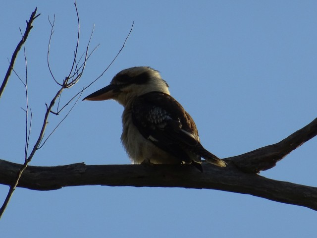 Vogel in Australien